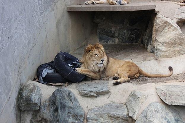 quần jean rách do sư tử cắn
